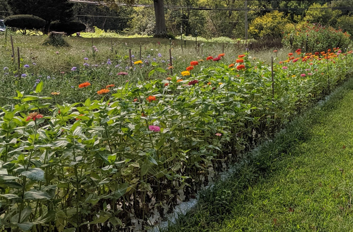 Deadhead Zinnias - Large Field of Zinnias for Pick-Your-Own or Cut and Come Again