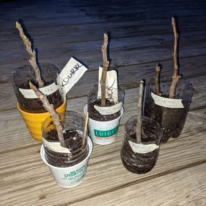 How to Root Fig Cuttings – Tracking Progress