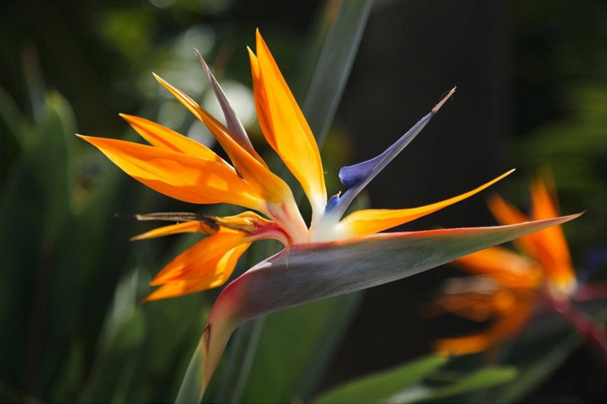 Bird of Paradise Flower - Seeds available on Etsy from NIKITOVKASeedsStore