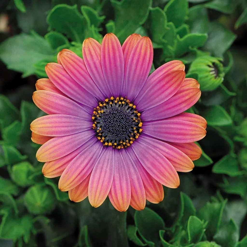 Lovely pink, purple, and orange flower - Copper Amethyst African Daisy Flowers - Available on Etsy from SierraSundews