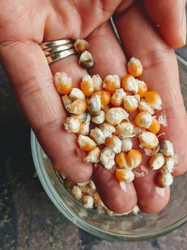 Holding Homegrown Yellow Popcorn Kernels in 2021