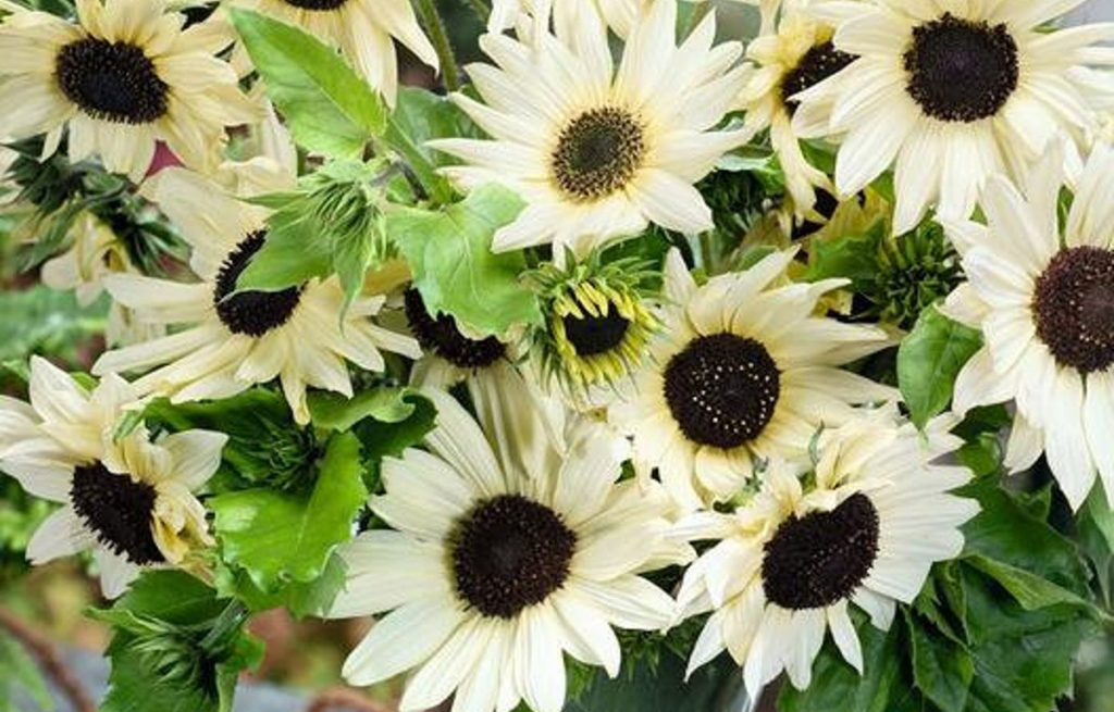 Italian White Sunflowers look so graceful and serene - Available on Etsy at DaisyHeader