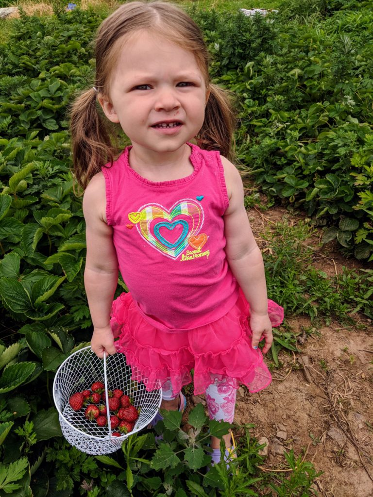 How to Pick Strawberry Fruit with Toddlers - Little Girl in Pink with a Basket of Fresh-picked Strawberries