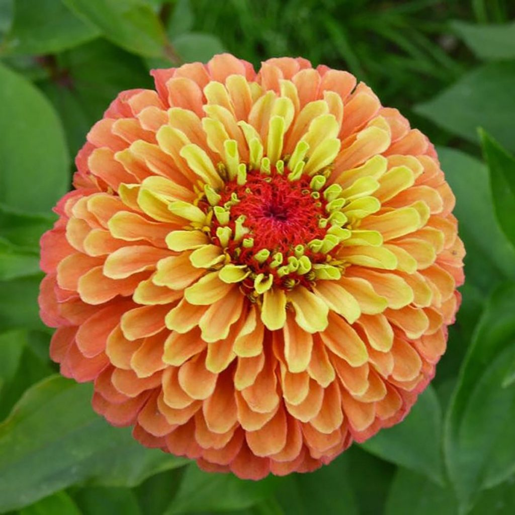 Queen Lime Orange Zinnia - Available on Etsy from ArcadiaSampleSeeds