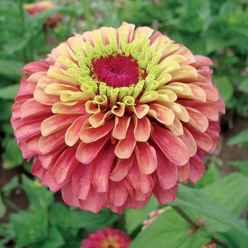 Queen Red Lime Zinnia - Available on Etsy from ArcadiaSampleSeeds