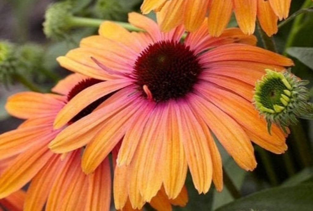 Rainbow Marcella Coneflower - pink and orange echinacea - available on Etsy from WildRoseSeeds