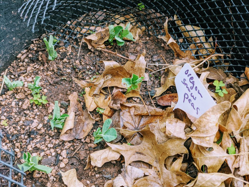 Snow Pea Seedlings Growing in a Black Garden Grow Bag amid some Leaves.