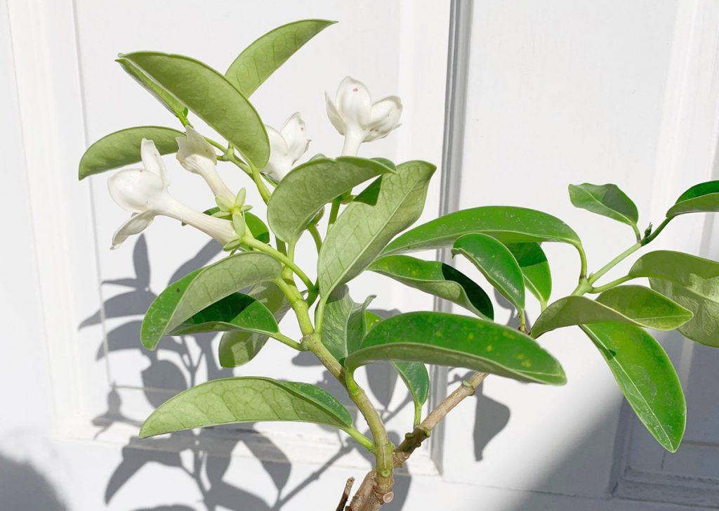 Stephanotis Madagascar Jasmine Vine with White Star Shaped Flowers - Available on Etsy from MYSHELFIE