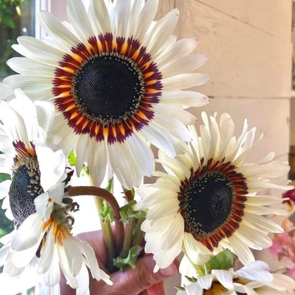 Zulu Prince Daisy Flower Seeds Available at Etsy from Zillysgarden