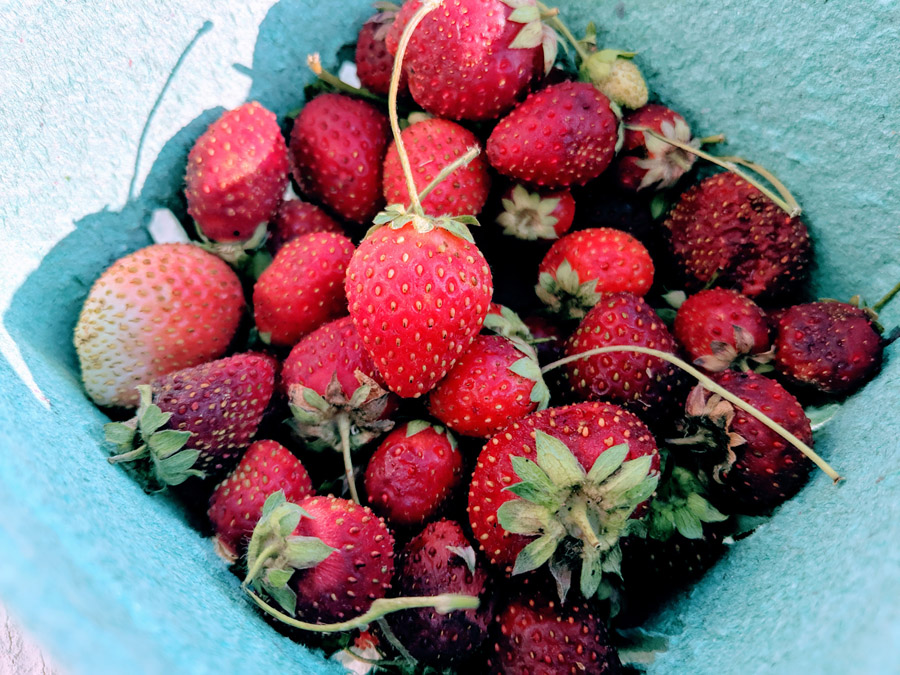 How to Pick Strawberries - Tips and Kid-Friendly Info - Photo of Fresh-Picked Strawberries in a Green Recycled Container