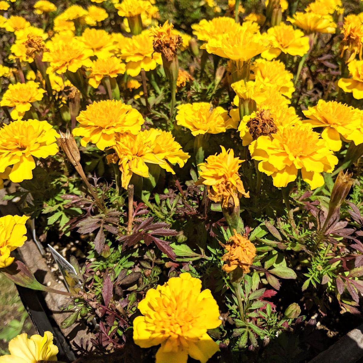 The Best Marigold Companion Plants