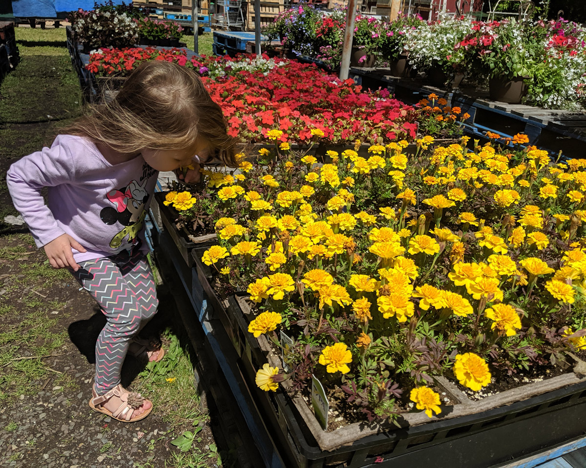 Little Girl Smelling Marigolds at a Farm Stand - Marigold Plant Companions