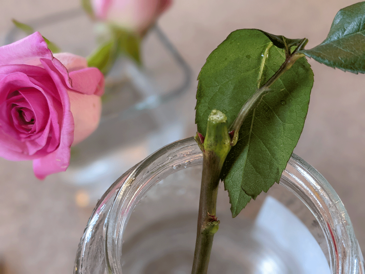 Growing Roses from Cuttings - Rose cutting in a glass jar with a pink rose in the background