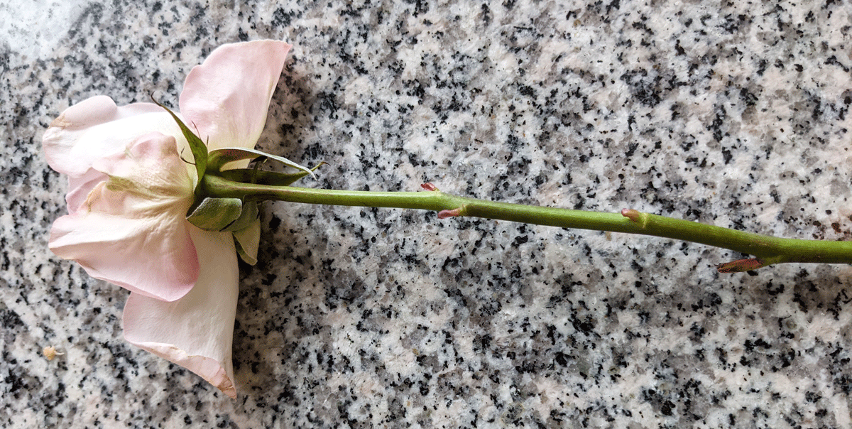 Light Pink Rose for Propagation of Fresh Cut Flowers Rooting in Water - Note the New Growth on the Leaf Nodes