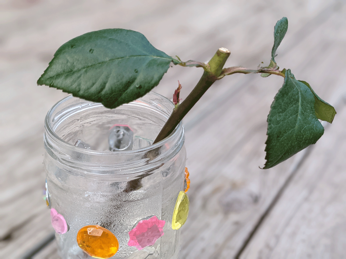 Fresh Cut Rose Cuttings in a Glass Jar with Rhinestones for Rooting Cuttings in Water on a Wooden Deck