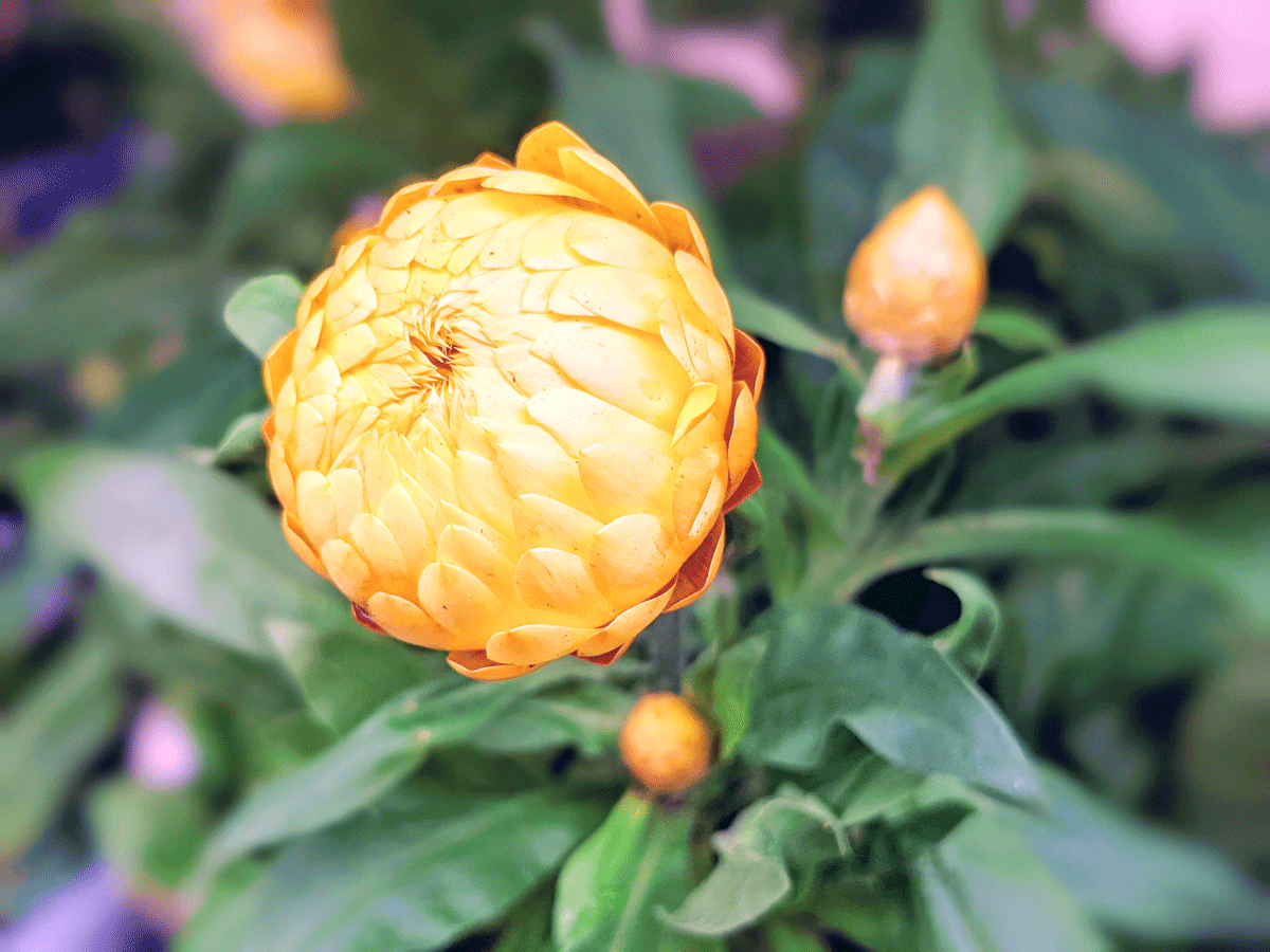 Yellow Strawflower Bloom about to Open
