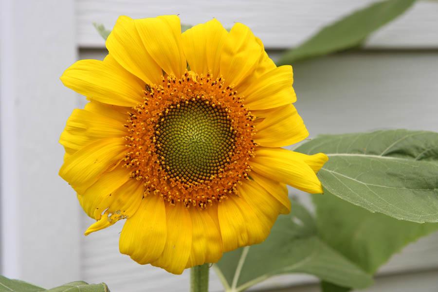 Dwarf Sunspot Sunflower Closeup along white siding of a house