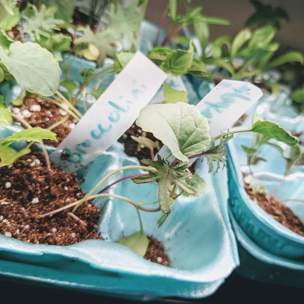 What is Broccolini - Here is a broccolini seedling of the popular broccoli hybrid in an egg carton with potting soil.