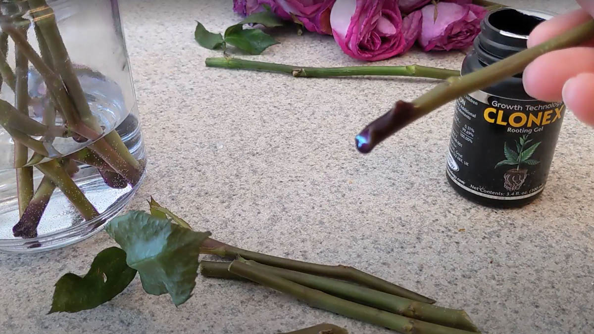 Clonex Rooting Hormone Applied to Rose Cutting from Fresh Cut Flowers