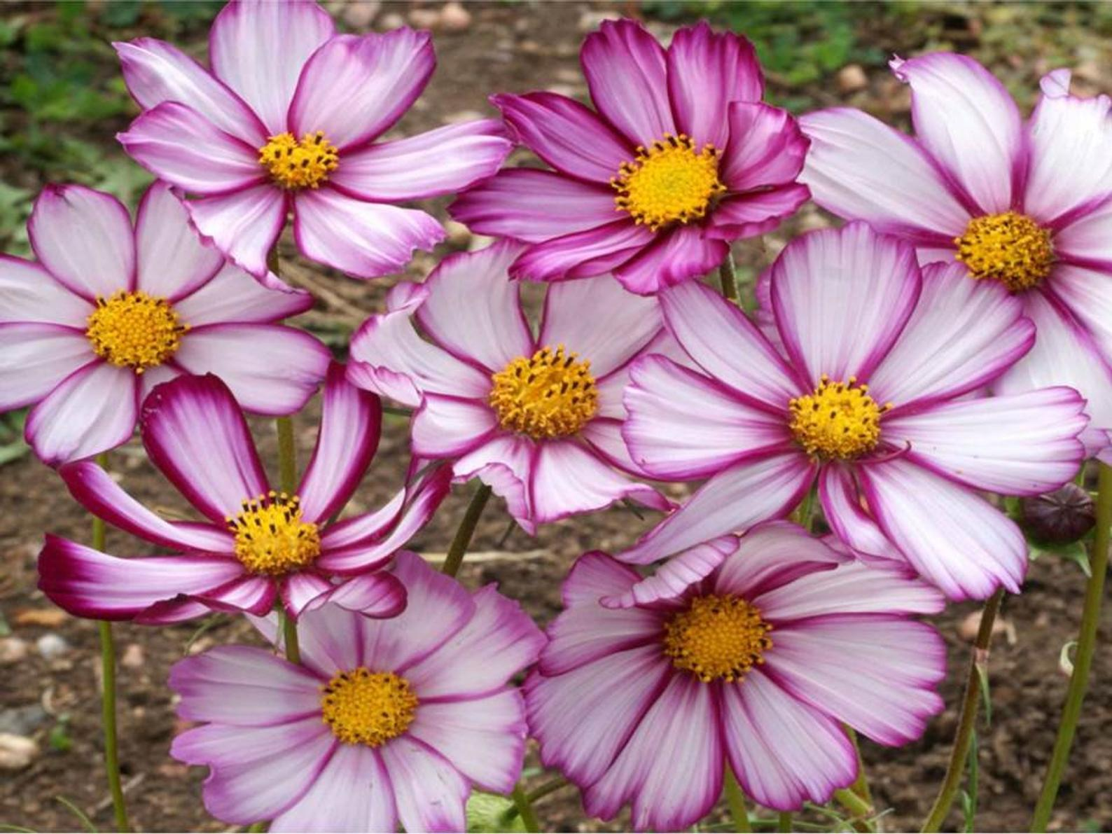 Beautiful cosmos picotee flowering with white petals and pinkish purple edges. Available for sale at Etsy - photo courtesy of seller, ZellajakeFarmGarden. https://tidd.ly/3z5hWPu