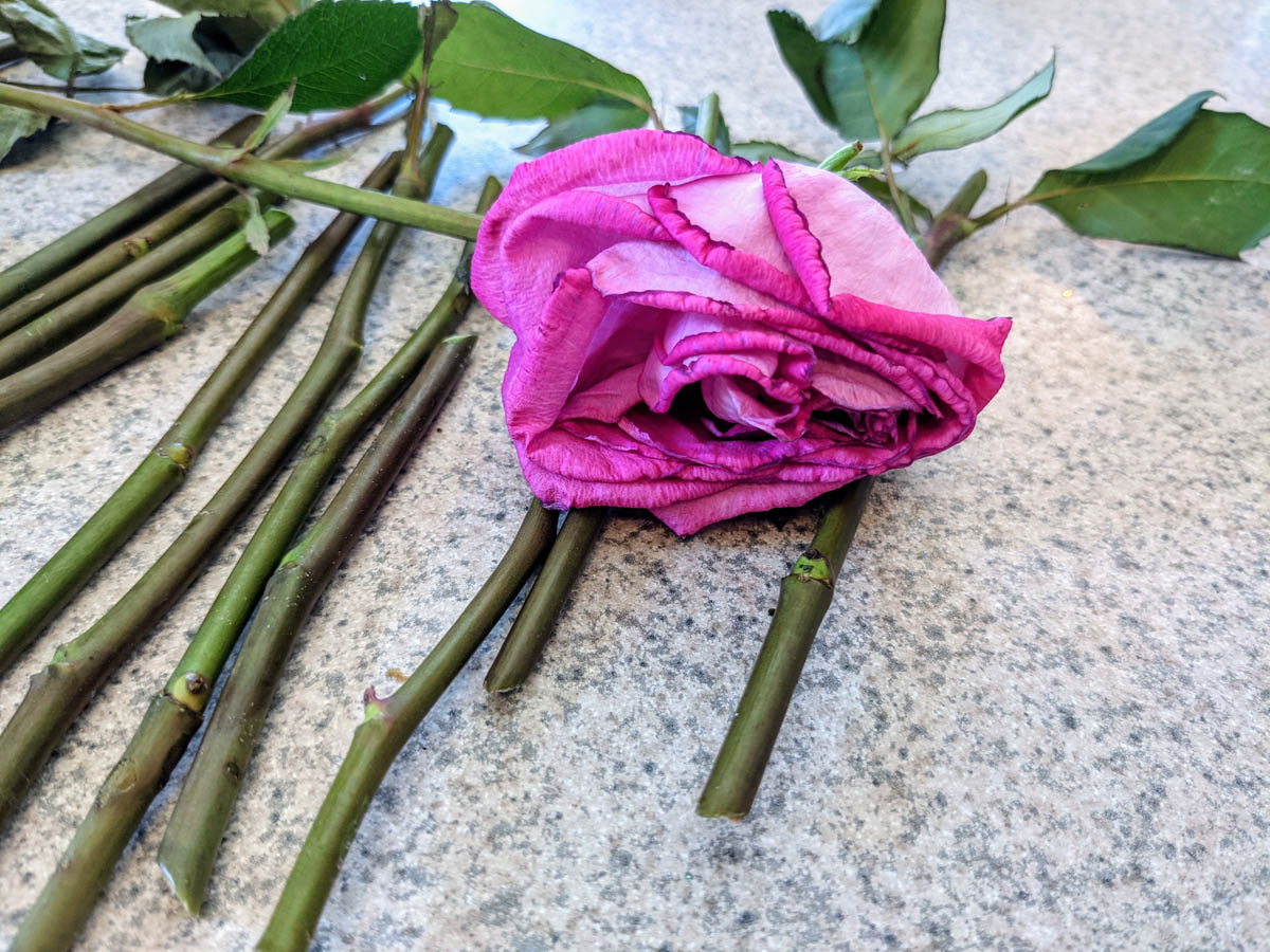 What do rose cuttings look like? These are stem cuttings of pink roses on the counter.