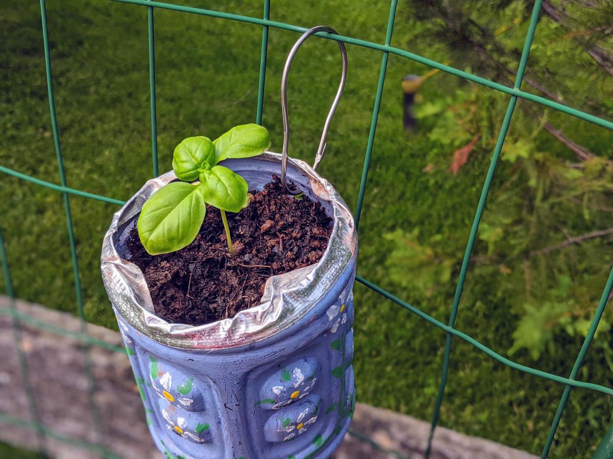 Basil Seedling in Fence Herb Garden Planter