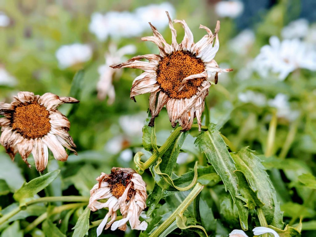 Brown spent daisy blooms ready for deadheading