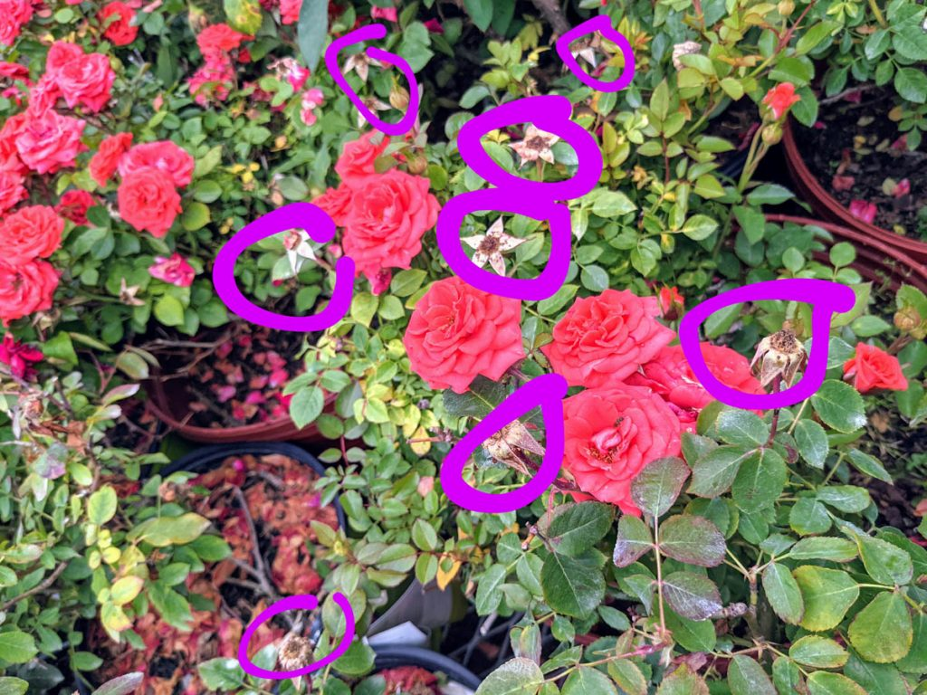 Guide to Deadheading Roses - Image of rosebush that needs deadheading with purple markup drawn on