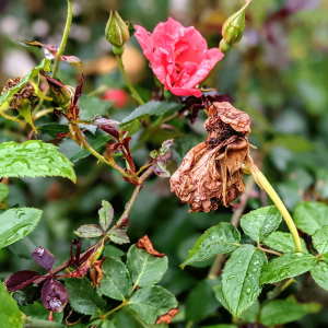 How to Deadhead Roses   Magnificent Repeat Blooms