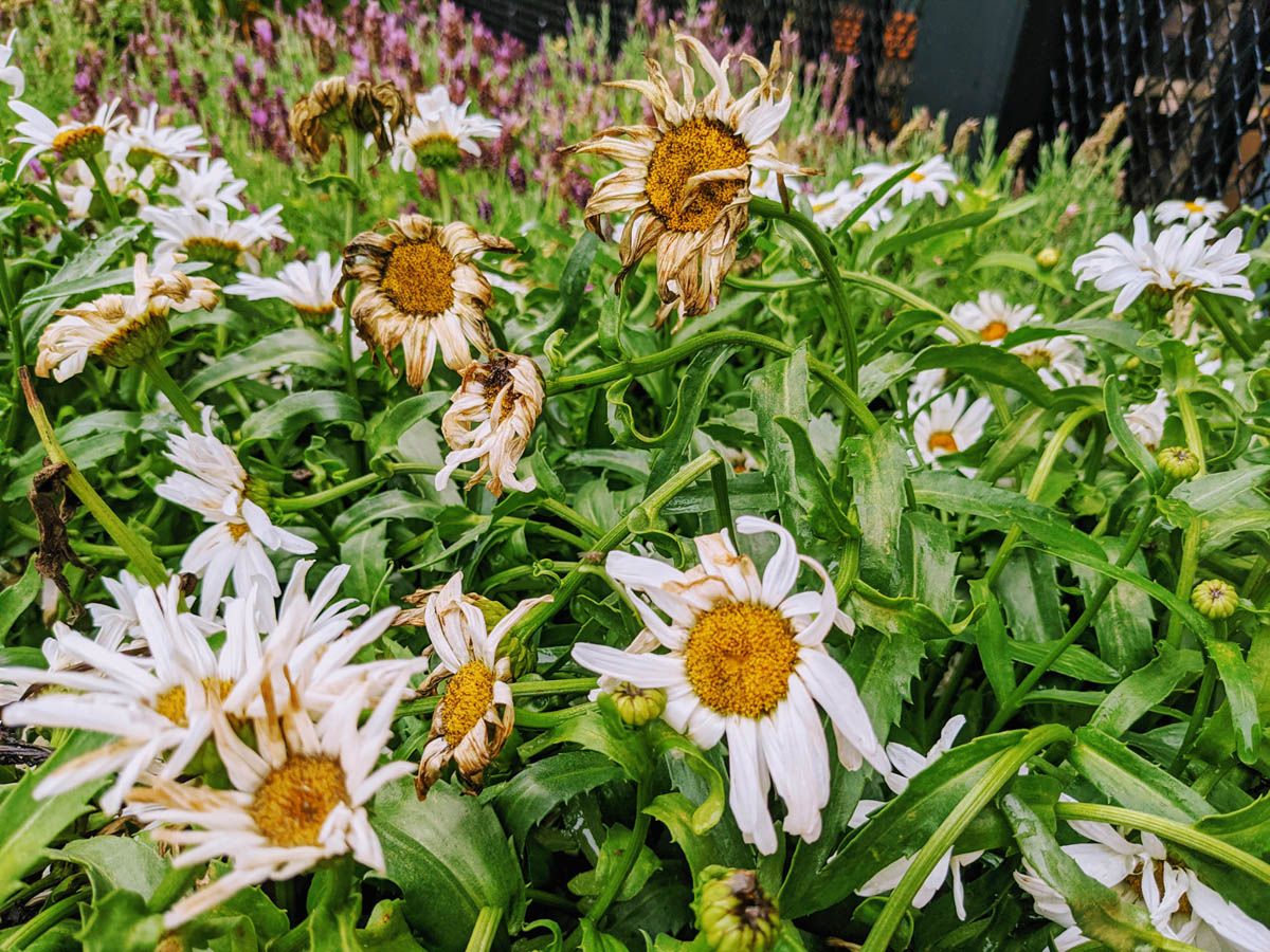 Deadheading Daisies - Remove Spent Blooms from Shasta Daisies
