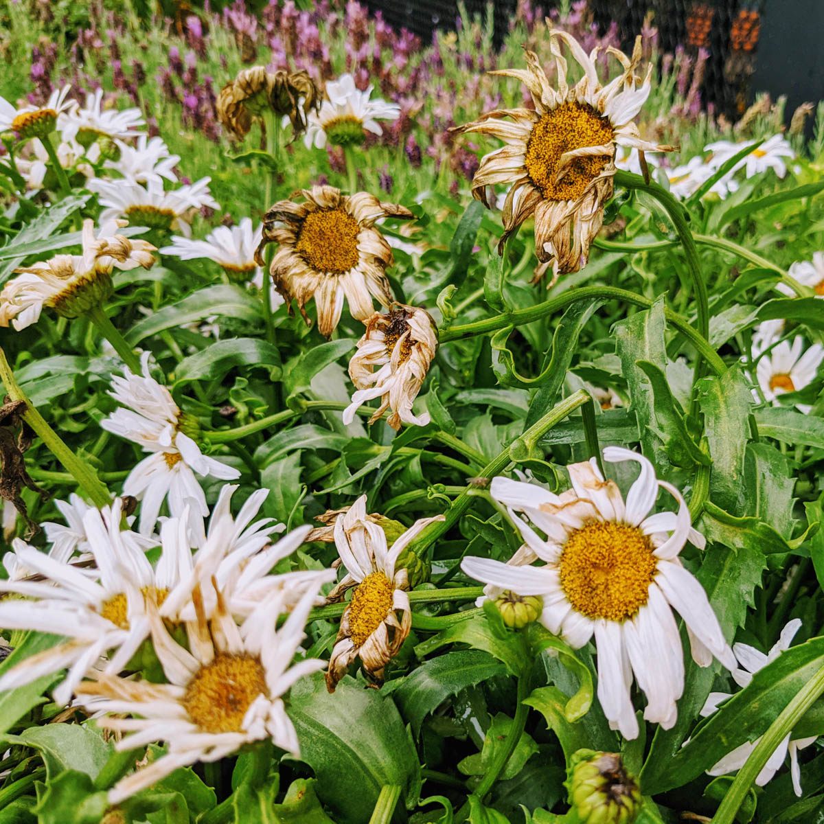How to Deadhead Daisies   Continuous Summer Blooms