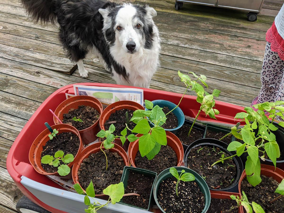 Border Collie with Wagon of Seedlings, including Leggy Bean Seedlings