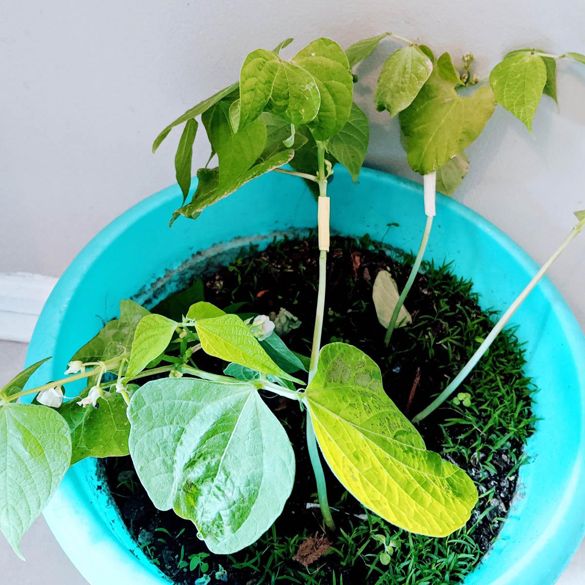 Leggy Seedlings - Bean Seedlings in a Turquoise Flower Pot with Masking Tape on the Stems