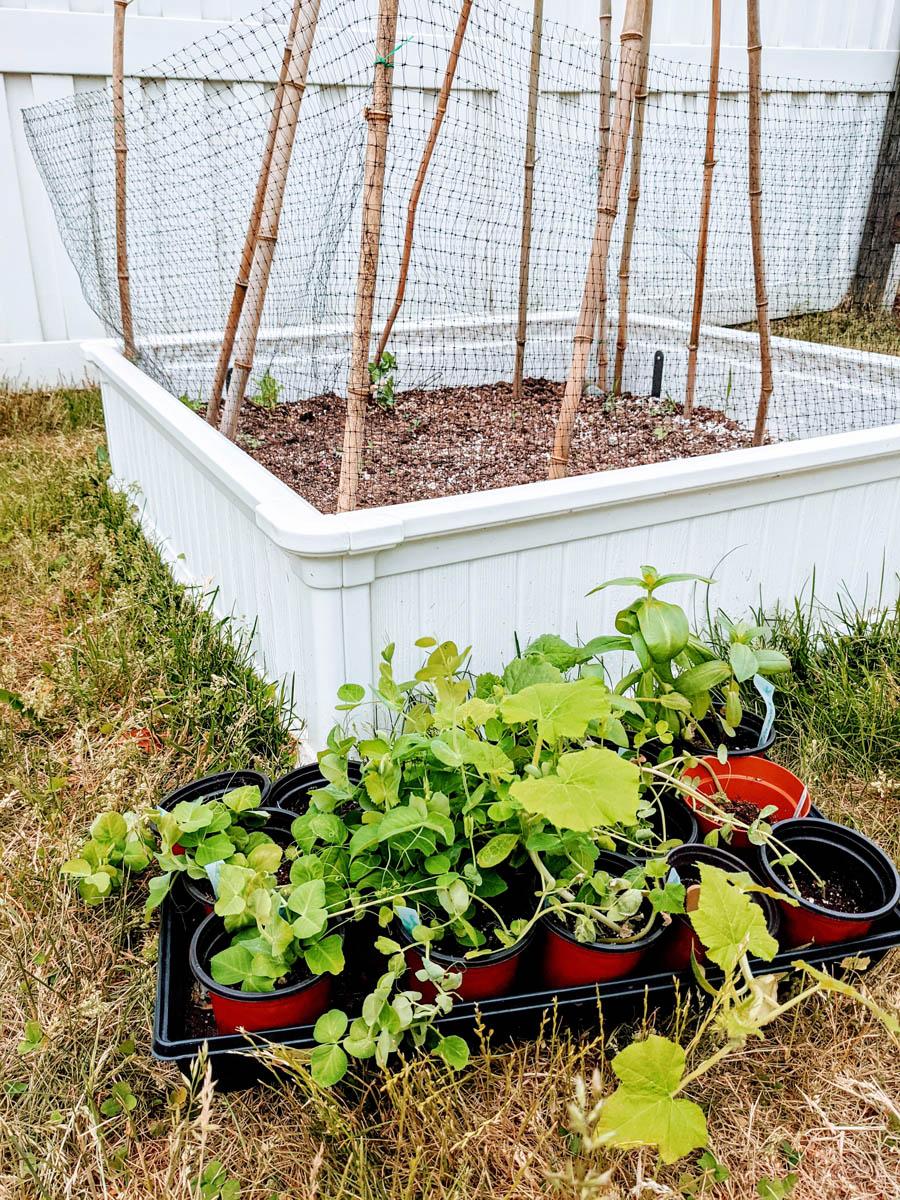 Choosing Snow Pea Companion Plants - near a white garden bed