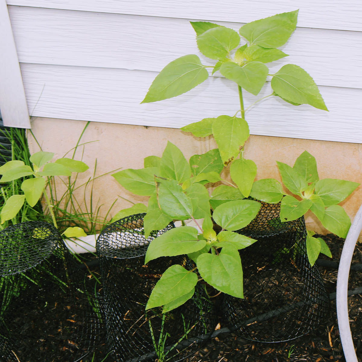 Sunflower leaves - foliage on a young sunflower plant