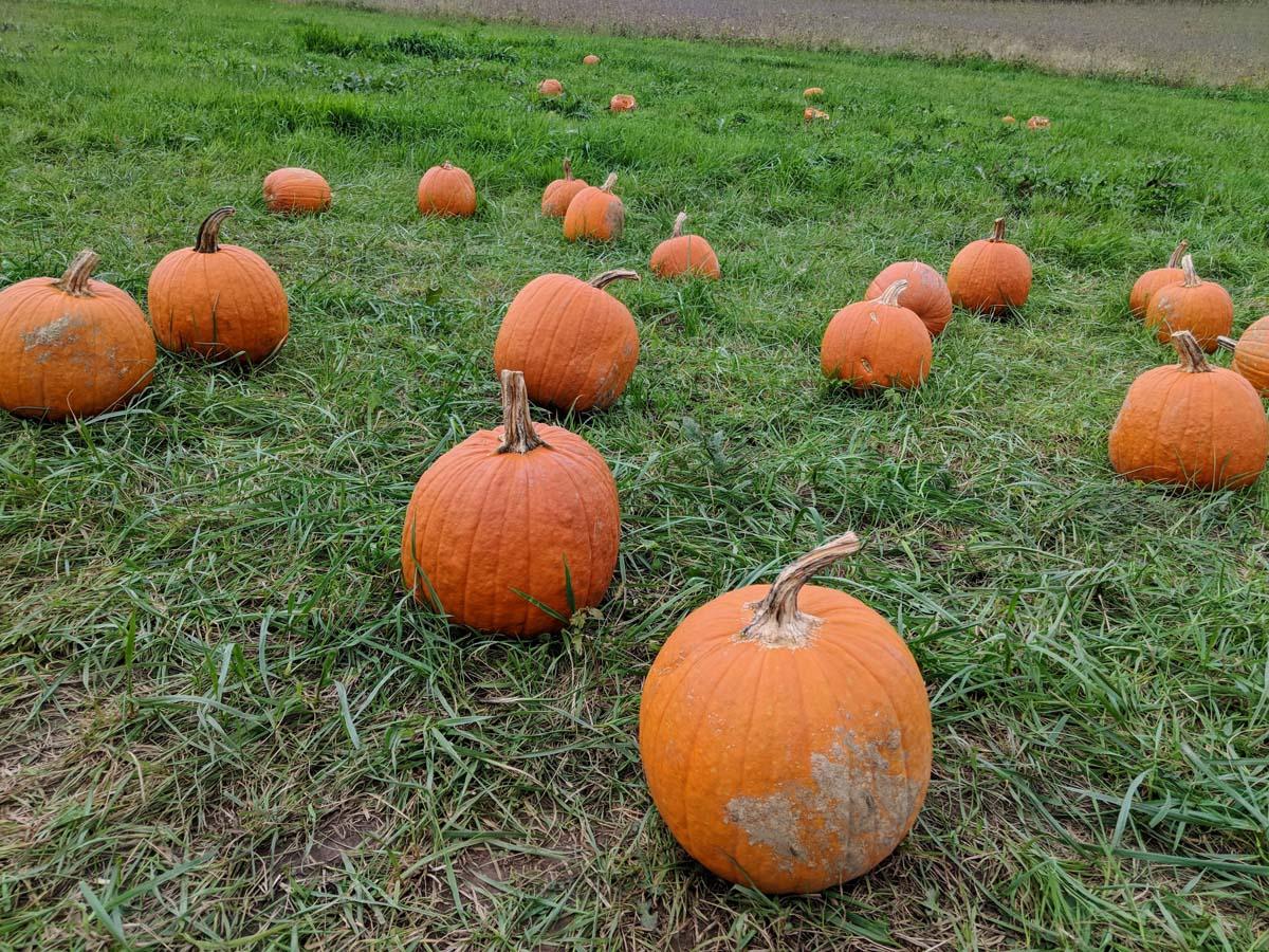 Backyard Pumpkin Patch - Lots of Jack-o-Lanterns in the Grass