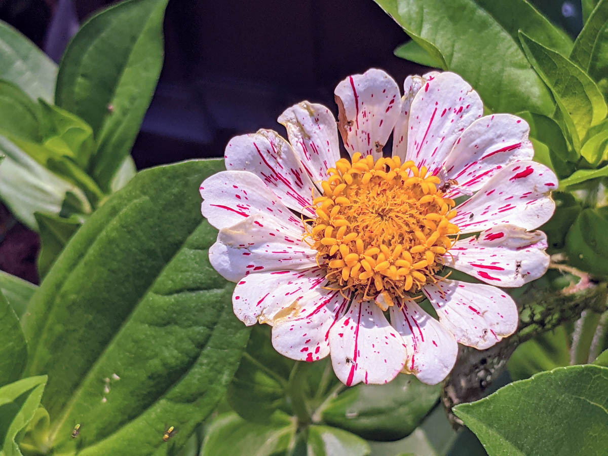 Candy Cane Peppermint Stick Zinnia - Red and White with Yellow Center and tiny bee