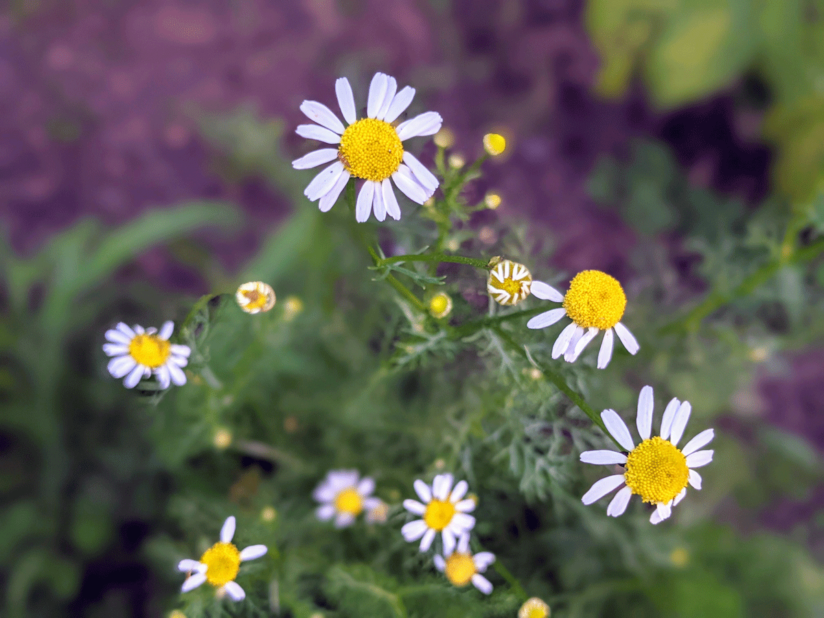 Herbs to Plant in August - Chamomile