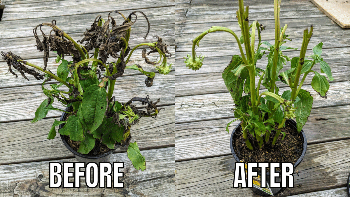 Rescue Plants Wild Berry Coneflower Plants Before and After Deadheading and Pruning
