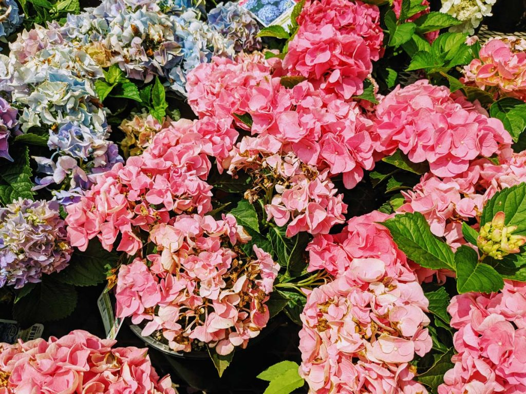 Pink Hydrangeas Starting to Fade