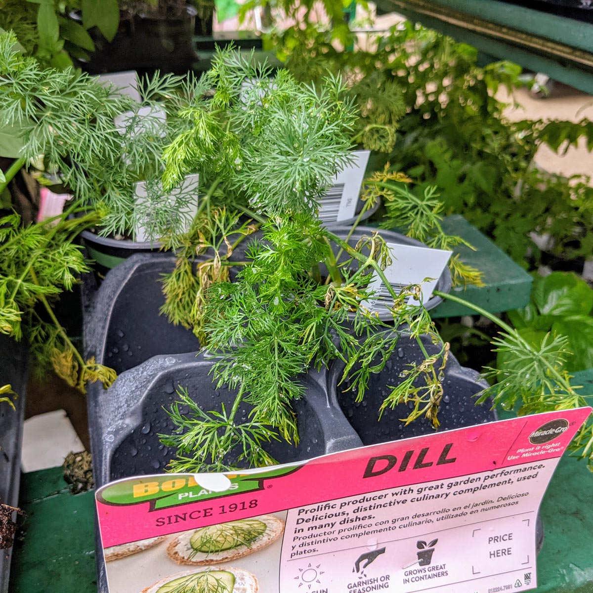 Dill Plant at Lowes in July 2021 for Dill Substitute post