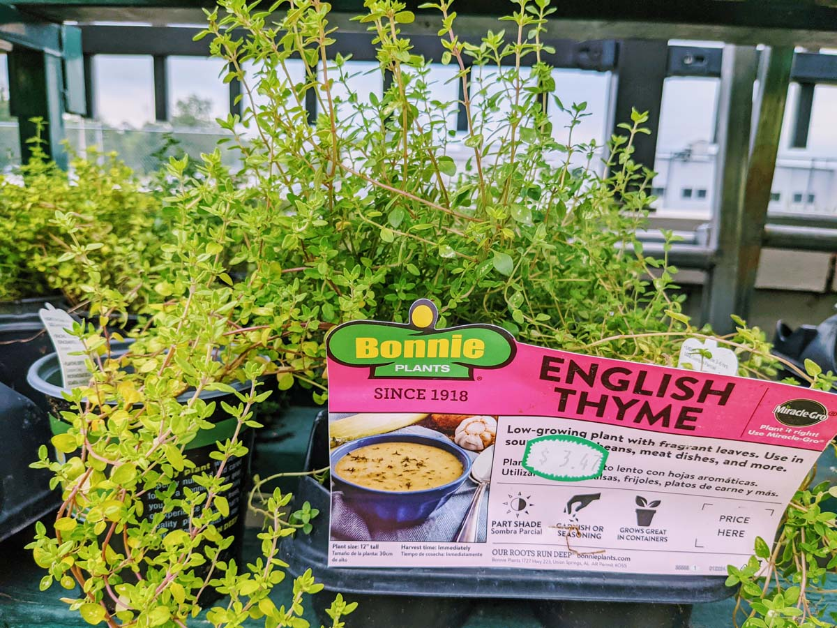 English Thyme for Sale