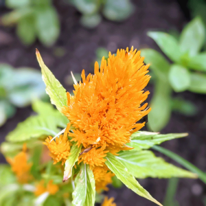 Celosia Seeds – Growing Celosia from Seed to Flower