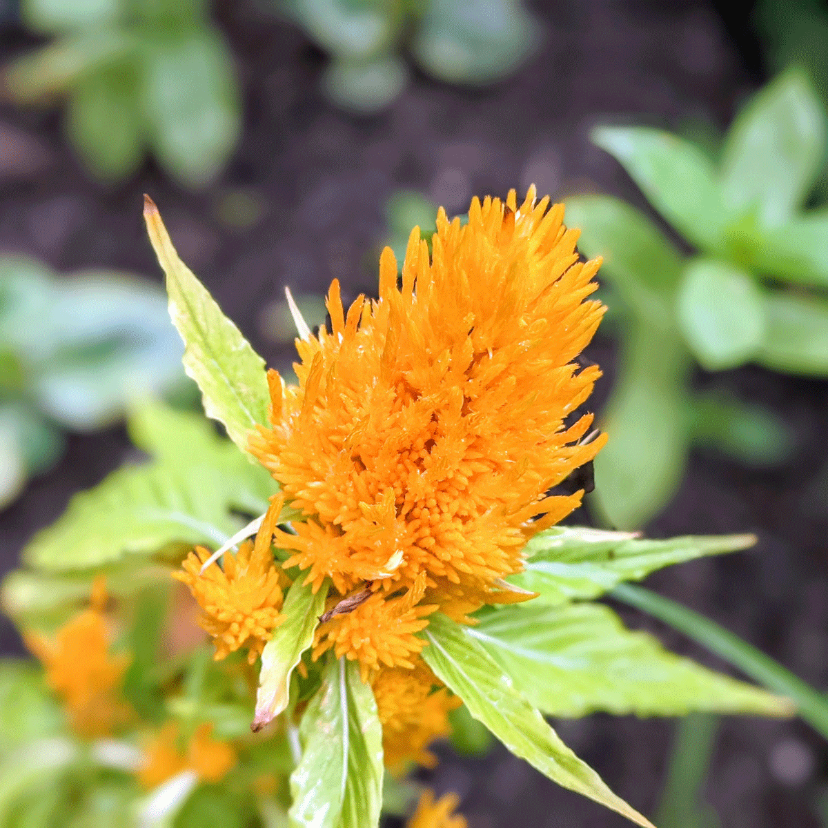 Golden Yellow Celosia Plant in my garden