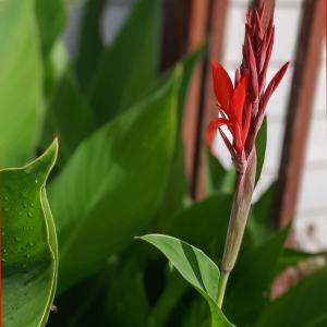 How to Care for Canna Lily | Cannas Bulbs Care