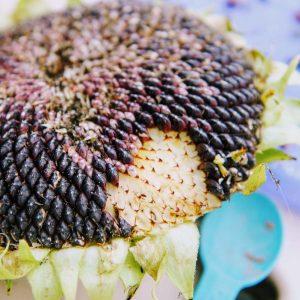 How to Harvest Sunflower Seeds | Easy Tips