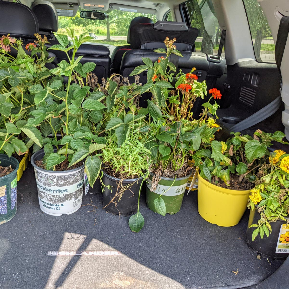 Trunk full of plants - how to rescue plants on clearance at garden centers like Lowes
