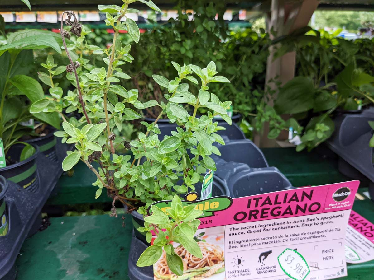 Italian Oregano - Choosing herb substitutes by cuisine