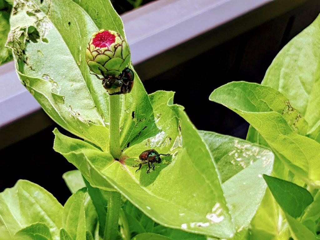 Japanese Beetle Trap Crops