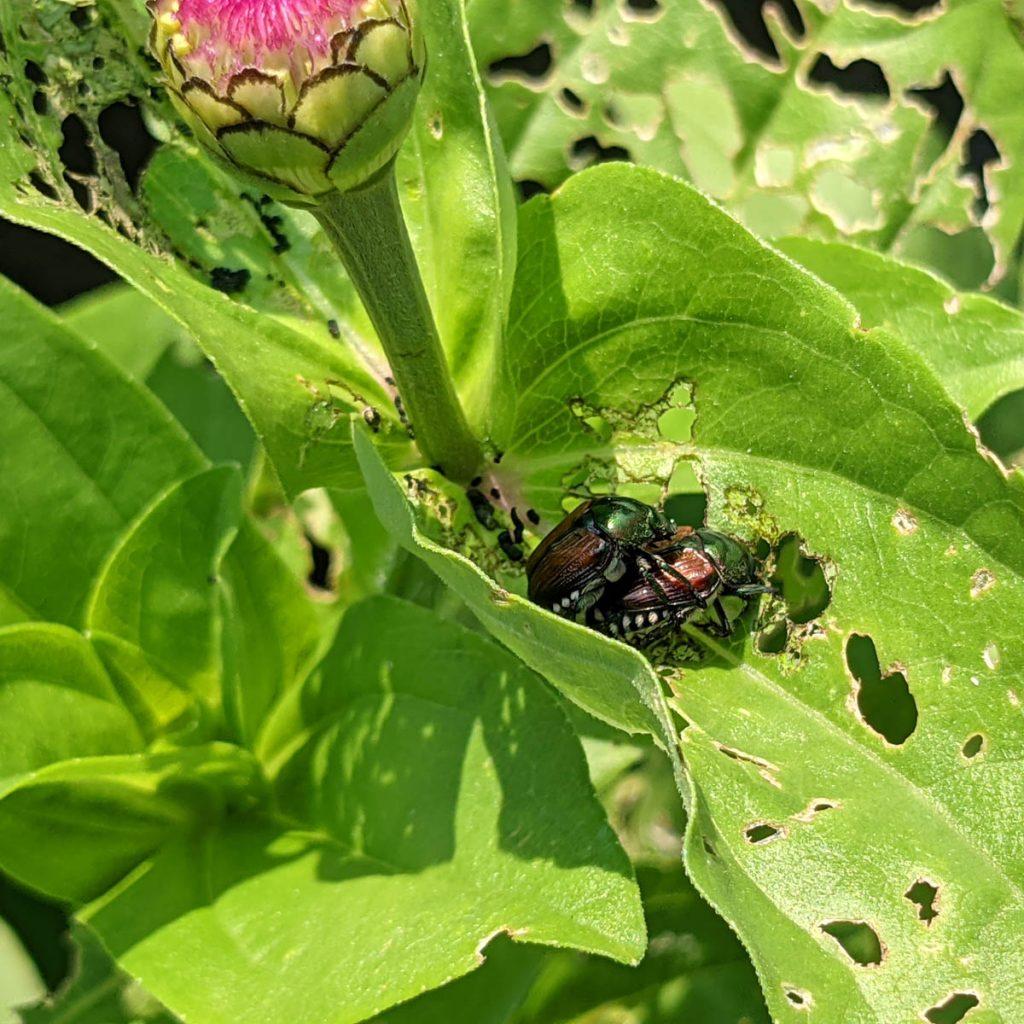 Japanese Beetle Infestation - Copper Beetles mating on Zinnia flower
